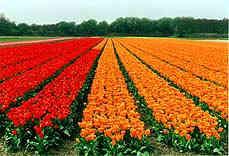 ¿Invierten los tulipanes en la Bolsa holandesa?